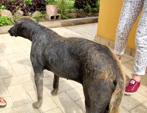 Cachorro peruano, feio pra burro!