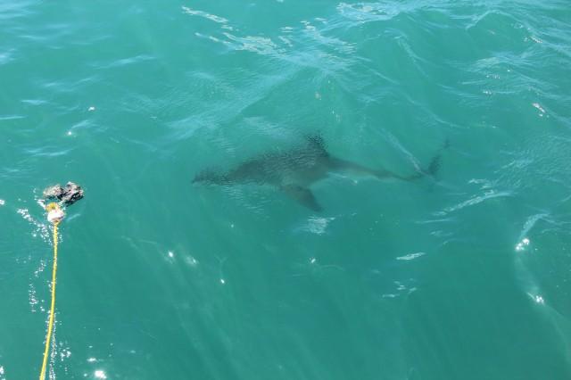 Um pequeno tubarão de quase 3 metros chegando