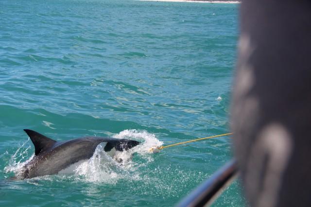 E o tubarão quase morde a isca!