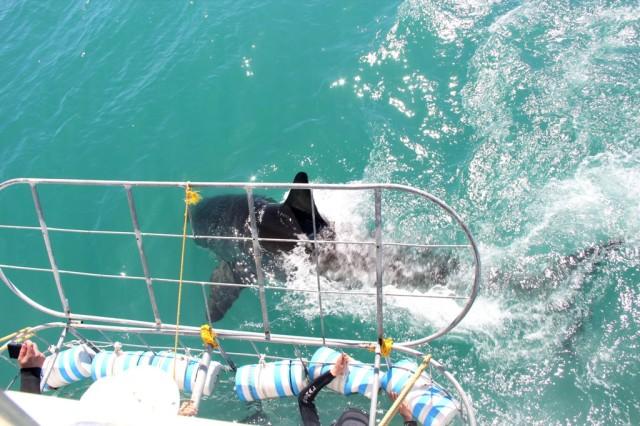 Mergulhando com tubarão branco na Cidade do Cabo