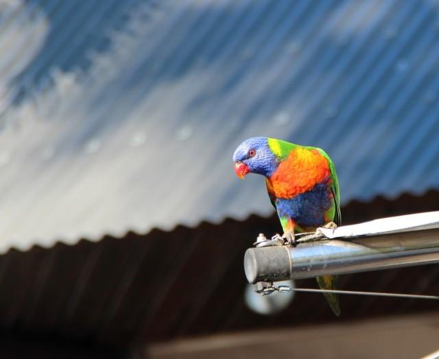 Hamilton é cheia de pássaros lindos e livres!
