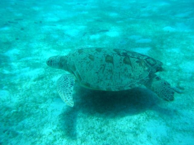 A água é super cristalina, um paraíso para mergulhadores! Olha a tartaruga!