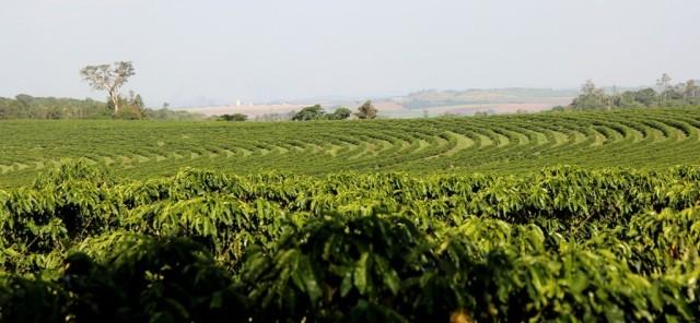 Cafezal da Fazenda Palmeira: até perde de vista!