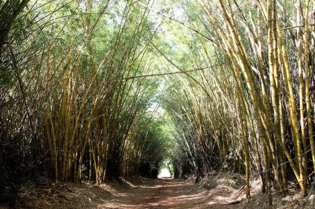 Túnel de bambus na Rota do Café do Norte do Paraná