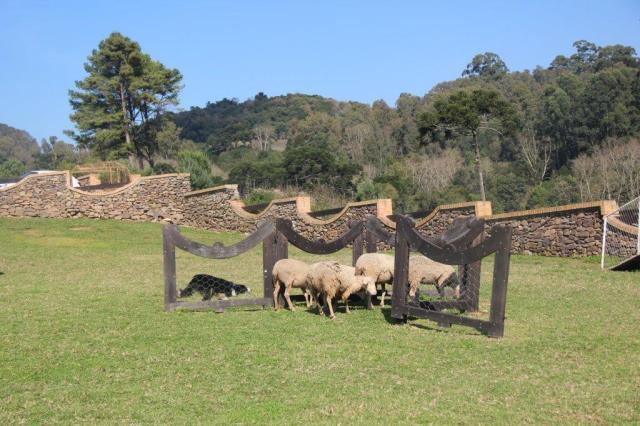 Aprendendo sobre o pastoreio de ovelhas feito com o Border Collie